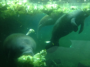Brunchtime for the Manatees as well! Are they Yelp Elite too?